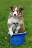 Shetland Sheepdog Sitting in Bucket in Grass Stock Image