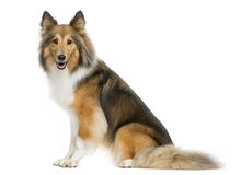 Shetland Sheepdog sitting. In front of a white background Stock Images