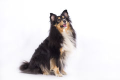 Shetland Sheepdog Stock Images