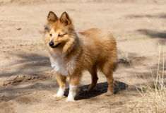 Shetland sheepdog stands on dirty track Stock Photos