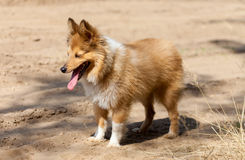 Shetland sheepdog stands on dirty track Royalty Free Stock Photography