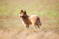 Shetland sheepdog stands on a field Stock Photos