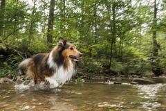 Shetland sheepdog in a stream Stock Photography