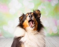 Shetland Sheepdog in Studio Portrait Catching Treats stock image