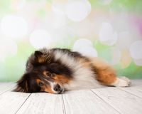 Shetland Sheepdog in Studio Portrait stock images