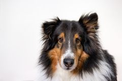 Shetland Sheepdog in Studio Portrait on White Background stock photos