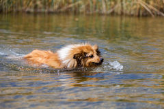 Shetland sheepdog swims in water Royalty Free Stock Photos