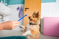 Shetland Sheepdog on a toothbrush Royalty Free Stock Photos