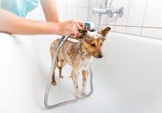 Shetland sheepdog under shower Royalty Free Stock Photos