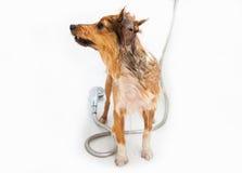 Shetland sheepdog under shower Stock Photos