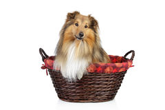 Shetland sheepdog on a white background Royalty Free Stock Photo