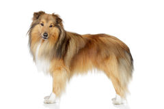 Shetland sheepdog on a white background Stock Photos