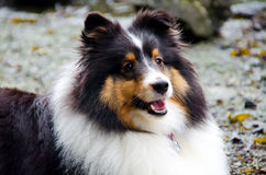 A shetland sheepdog in the wilderness. A shetland sheepdog (shelty) poses for the camera while sitting by the ocean stock images