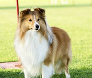 Shetland Sheepdog. A young, beautiful, white and sable Shetland Sheepdog standing on the lawn looking happy and playful. Shetland Sheepdogs look like miniature Stock Image