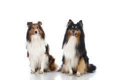 Shetland sheepdogs royaltyfria foton