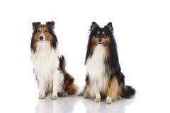 Shetland sheepdogs Royalty Free Stock Images