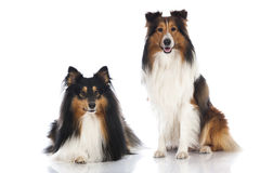 Shetland sheepdogs Stock Photo