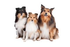 Shetland Sheepdogs(Shelty) Royalty Free Stock Photography