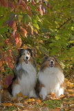 Shetland Sheepdogs sitting by colorful bushes Royalty Free Stock Photos