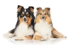 Shetland sheepdogs on white background Royalty Free Stock Photos
