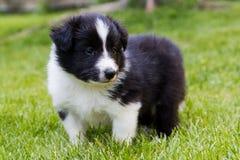 Shetland shepard puppy Stock Image