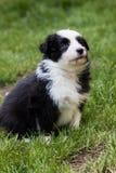 Shetland shepard puppy Royalty Free Stock Image