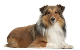 Shetland Shepherd dog, 5 years old, lying Royalty Free Stock Image