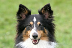 Shetland shepherd portrait Royalty Free Stock Image