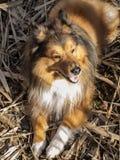 Shetlanddog Stock Images