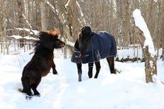 Shetlandinselnpony und -pferd, die im Winter spielen Stockbild