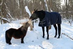 Shetlandinselnpony und -pferd, die im Winter spielen Lizenzfreies Stockfoto