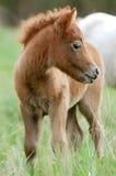 Shetlend ponnyföl i flock Royaltyfri Foto
