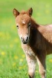 Shetlend ponnyföl i flock fotografering för bildbyråer