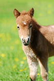 Shetlend pony foal in herd Stock Image