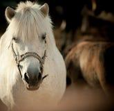 Shetlend pony Stock Images
