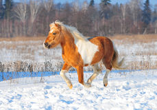 Shetlend pony run free Royalty Free Stock Images