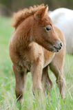 Shetlend-Ponyfohlen in der Herde Lizenzfreies Stockfoto