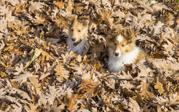 Sheltie puppies Royalty Free Stock Image