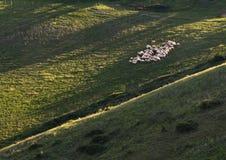 Shheps in Toscanië Stock Afbeeldingen