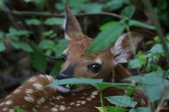 Shhh. I`m hiding!. Baby fawn hiding in foliage in the woods of Indiana. Baby deer lying down in leaves Stock Images