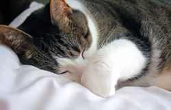 Shhhh... sleeping cat Stock Photography