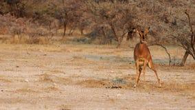 Shi* ? ! impala d'ing. Photographie stock