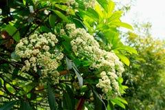 Photinia serrulata Lindl. Shi Nan is evergreen shrubs or small trees for Rosaceae and Shi Nan. Ye Husheng, leathery, oblong, margin serrulate, surface green Royalty Free Stock Image