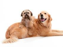 Shi Poo auf einem goldenen Apportierhund Stockbild