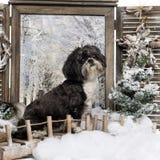 Shi-tzu, das in einer Winterlandschaft sitzt Stockbild
