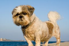 Shi tzu dog Stock Photo