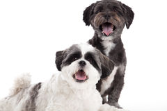 Shi tzu dogs in the studio Stock Images