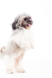 Shi tzu is jumping. Happy dog photographed in the studio on a white background royalty free stock images