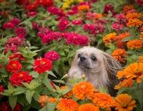 Shi Tzu pies w kwiatach Zdjęcia Royalty Free