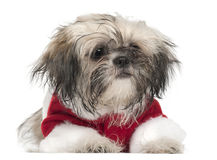 Shi Tzu puppy in Santa outfit, 5 months old Royalty Free Stock Photography